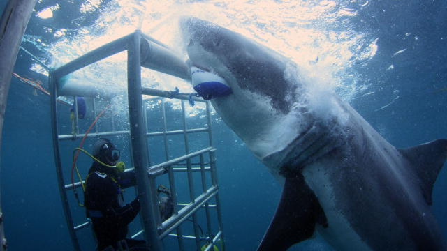 "This 18-foot shark is ""investigating"" the shark cage. That is 3 1/2 Megans!"